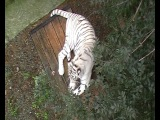 белый тигр ,,Поляна сказок,,